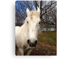 White Clydesdale Canvas Print