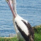 Pelican Preening by Coloursofnature
