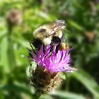 Bee On Thistle by Martha Medford