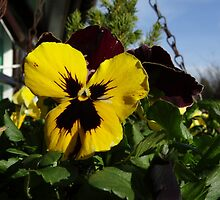 Pansy by Caroline Smalley