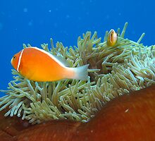 Anemonfish by Marco Heising