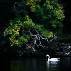 lonesome swan by kolografie