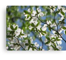~Dogwood Blossoms In The Sky~ Canvas Print