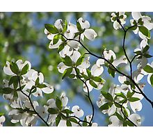 ~Dogwood Blossoms In The Sky~ Photographic Print