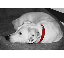Winston resting Photographic Print