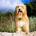 Tibetan Terrier by dolnonsporting