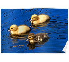 ducklings in Azores Poster