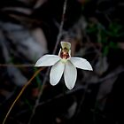 Orchidaceae Caladenia alba, White Fingers Orchid, Spring in Reedy Creek. by vixstix