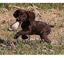 Boykin Puppy's First Dove Hunt Photographic Print