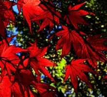 Maple In Bloom Sticker