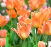 Tulips by Paula Bielnicka