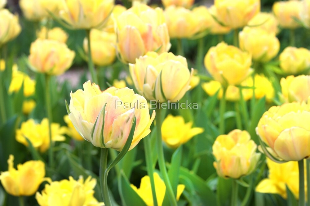 Yellow Tulips by Paula Bielnicka