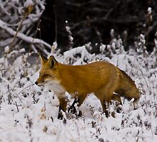Winter Fox by Jay Ryser