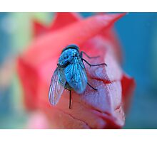 Blue Fly Photographic Print