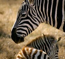 Momma Zebra and young Colt by Dennis Stewart