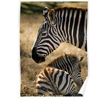 Momma Zebra and young Colt Poster