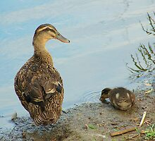 Gadwall Duck by Kyme