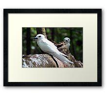 Seychelles white bird Framed Print