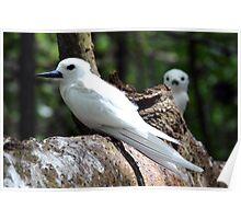Seychelles white bird Poster