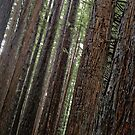 red woods 2 by angelo marasco