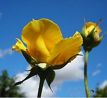 Yellow Rose by crackgerbal