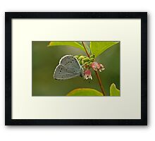 Holly Blue Butterfly Framed Print