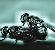 copulating  fly x-ray by lochef