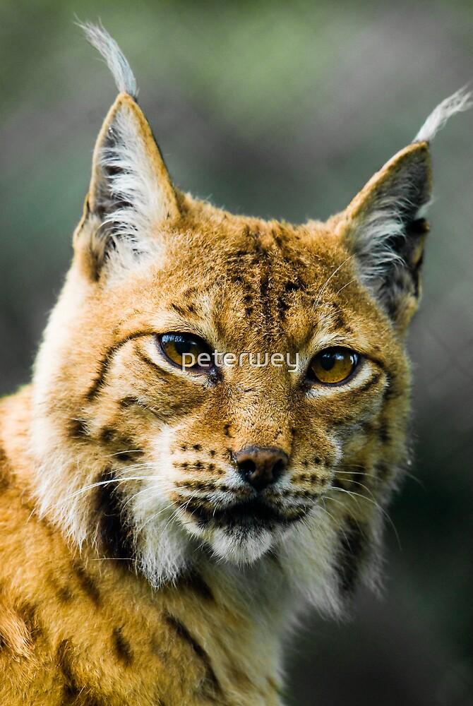 Lynx by peterwey