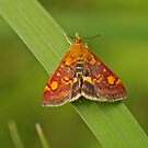 Mint Moth by Robert Abraham