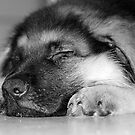 Sleeping Puppy by Lindsay Dean