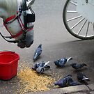 Carriage Horse, Pigeon, New York City by fauselr