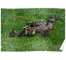 Mother Duck w/ babies Poster