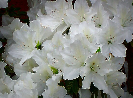 White Azaleas by Vic Cross