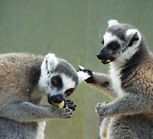 Ring Tailed Lemurs at Lunch by Martina Nicolls