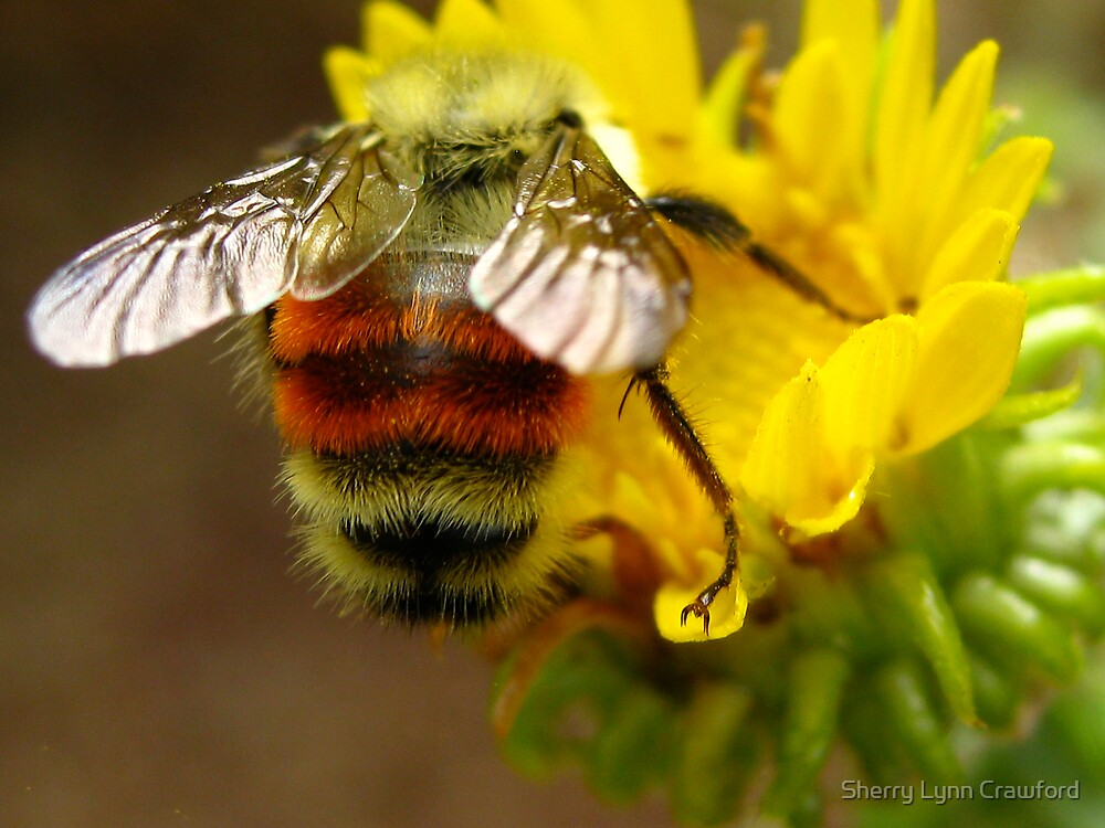 Bumble Bee, Red Rocks, Colorado, US by Sherry Lynn Crawford