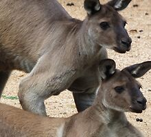 Kangaroo Two, Australia by Martina Nicolls