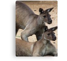 Kangaroo Two, Australia Canvas Print