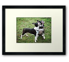Boston Terriers Framed Print