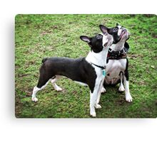 Boston Terriers Canvas Print