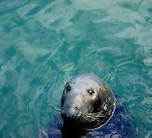 Wild Seal  by Of Land & Ocean - Samantha Goode
