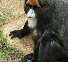 De Brazza's Monkey by Martina Nicolls