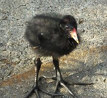 Cute Coot Chick by Martina Nicolls