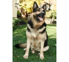 Our German Shepherd  Photographic Print