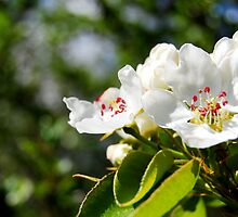 White Crab Apple by Thushan Sanjeewa