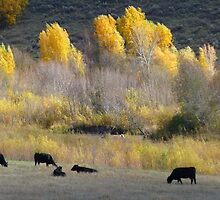 Angus and Aspens by BrianAShaw
