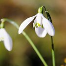 Snowdrops by JEZ22