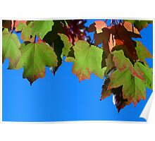maple leafs on a sunny day Poster