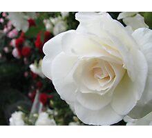Iceberg pure Rose Photographic Print
