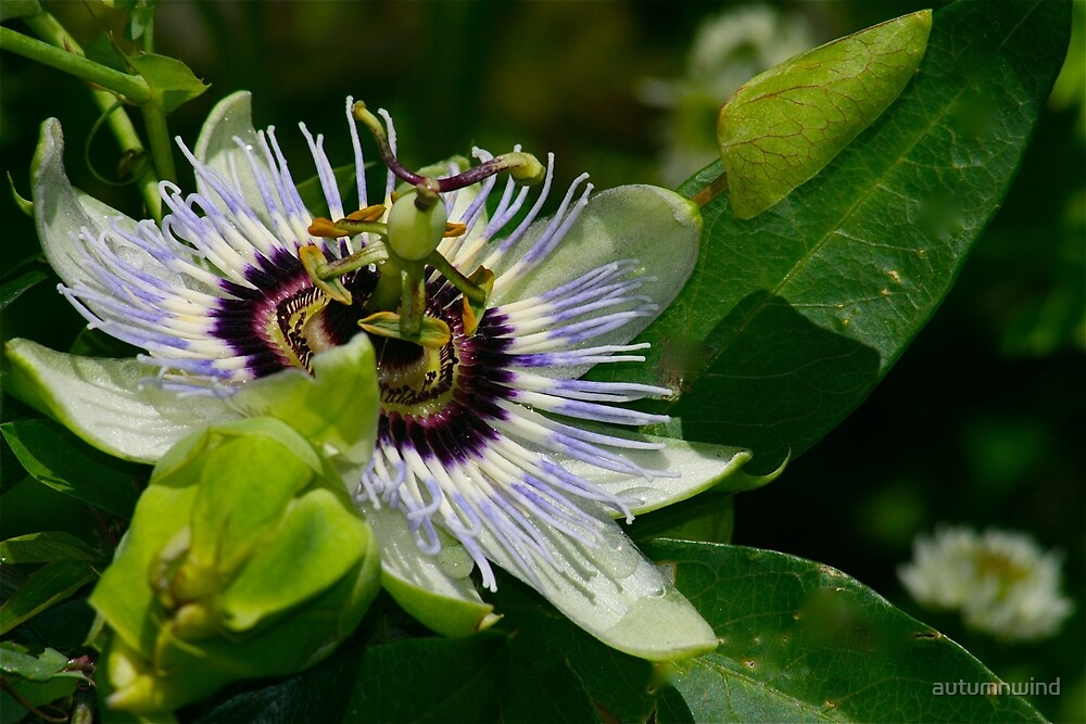 My First Passion Flower! by autumnwind