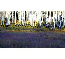 Aspen Trunks and Purple Meadow Photographic Print